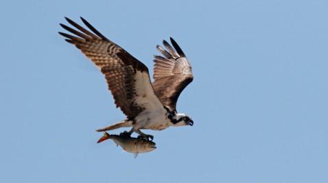 osprey-fish-ew-down-crop-1372-e1455656746653